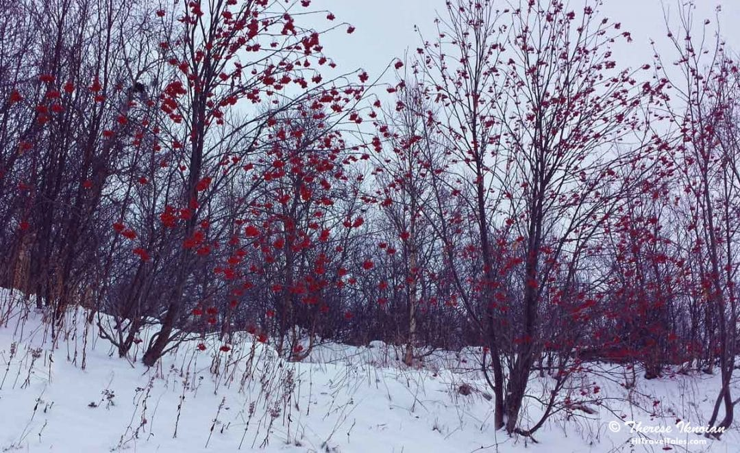 Red flowers in Kirkenes Norway in the winter