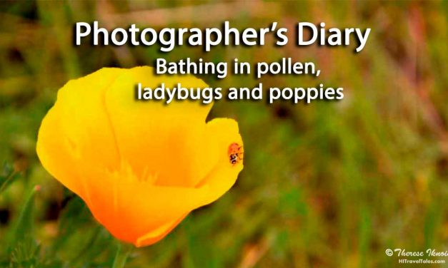 Bathing in pollen: Ladybugs and poppies