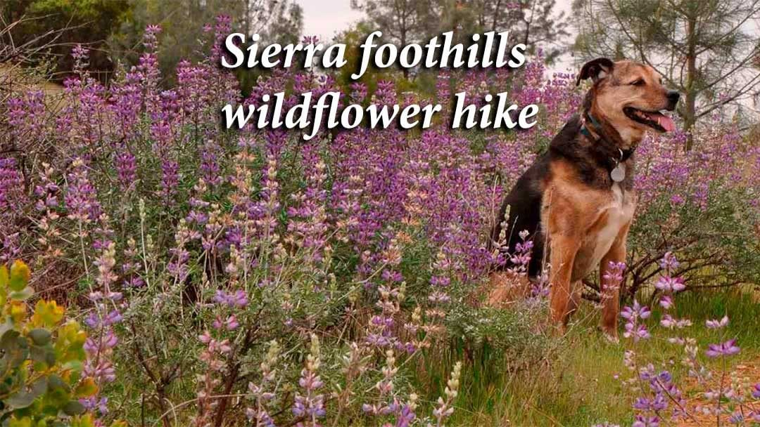 Sierra foothills wildflower hike with our dog kayla