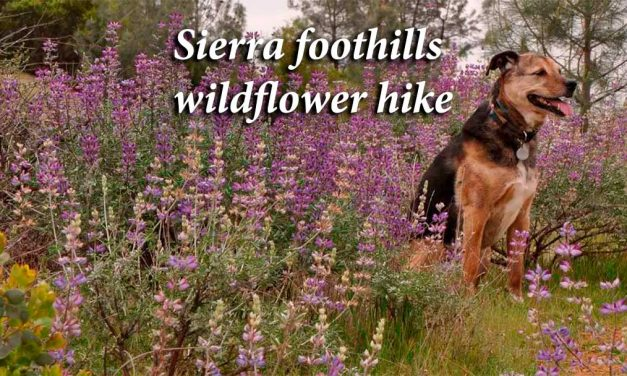 Sierra foothills wildflowers hike: Abundance in hidden places