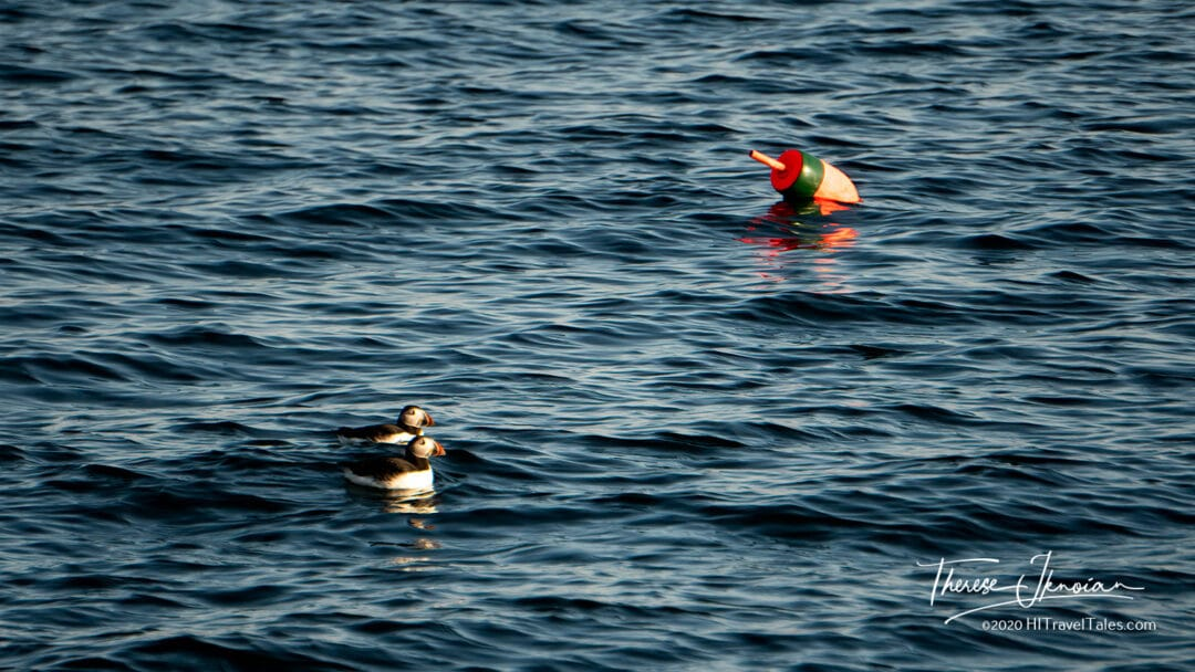 Hardy Boat MidCoast Maine Puffins