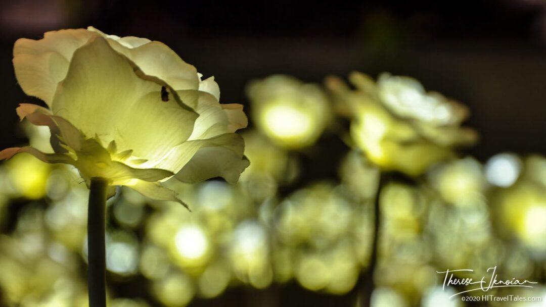 Illuminated Rose In The LED Rose Garden At Dongdaemun Design Plaza
