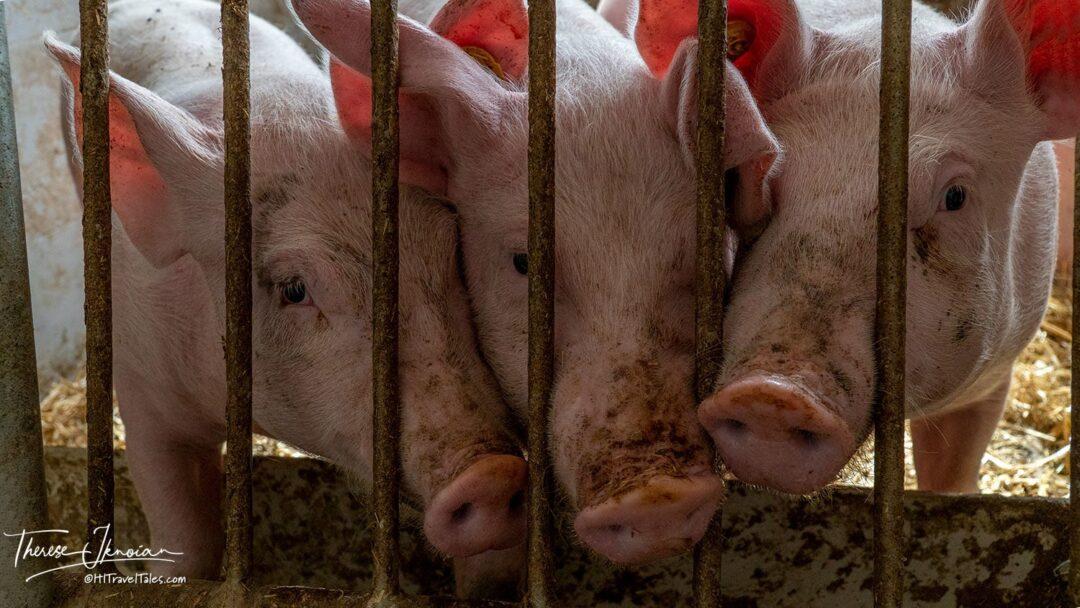 Josef Kitzbuhel Pigs Farm