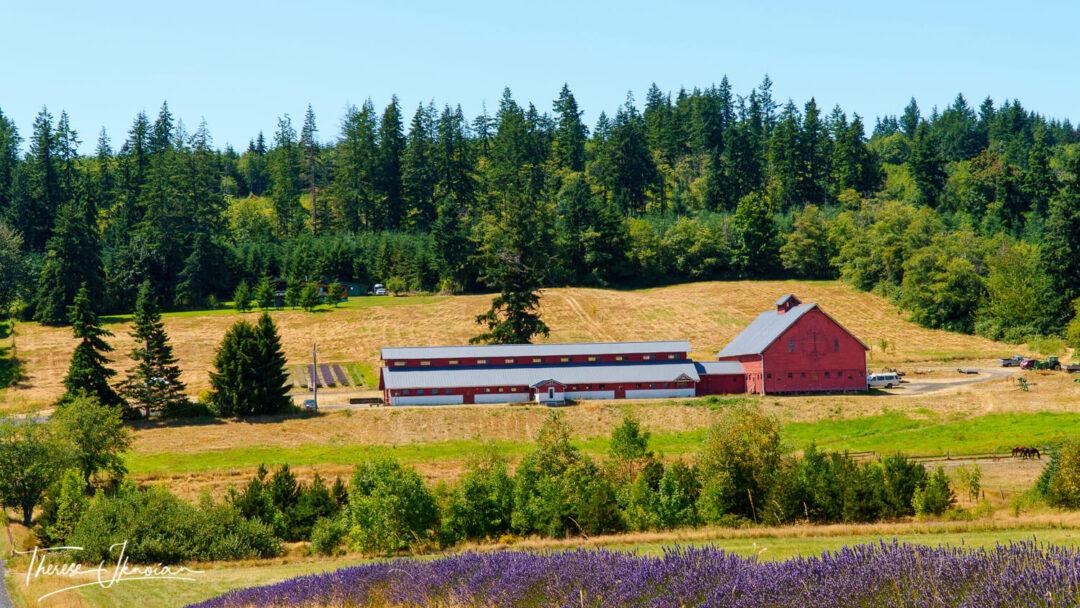 Kristoferson Farm Lavender Camano Island