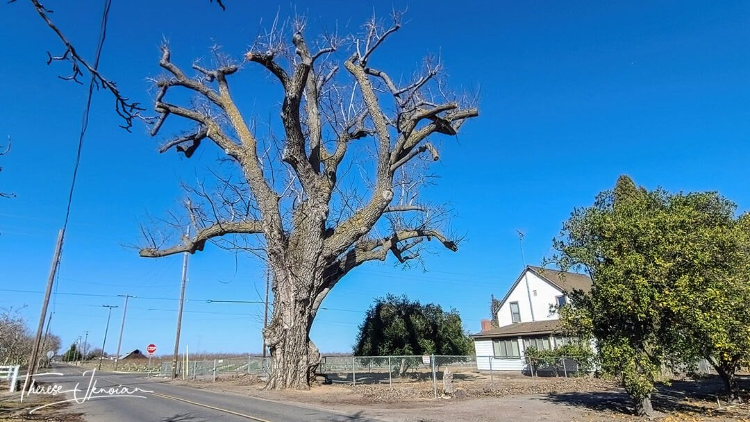 Oldest And Largest Walnut Tree
