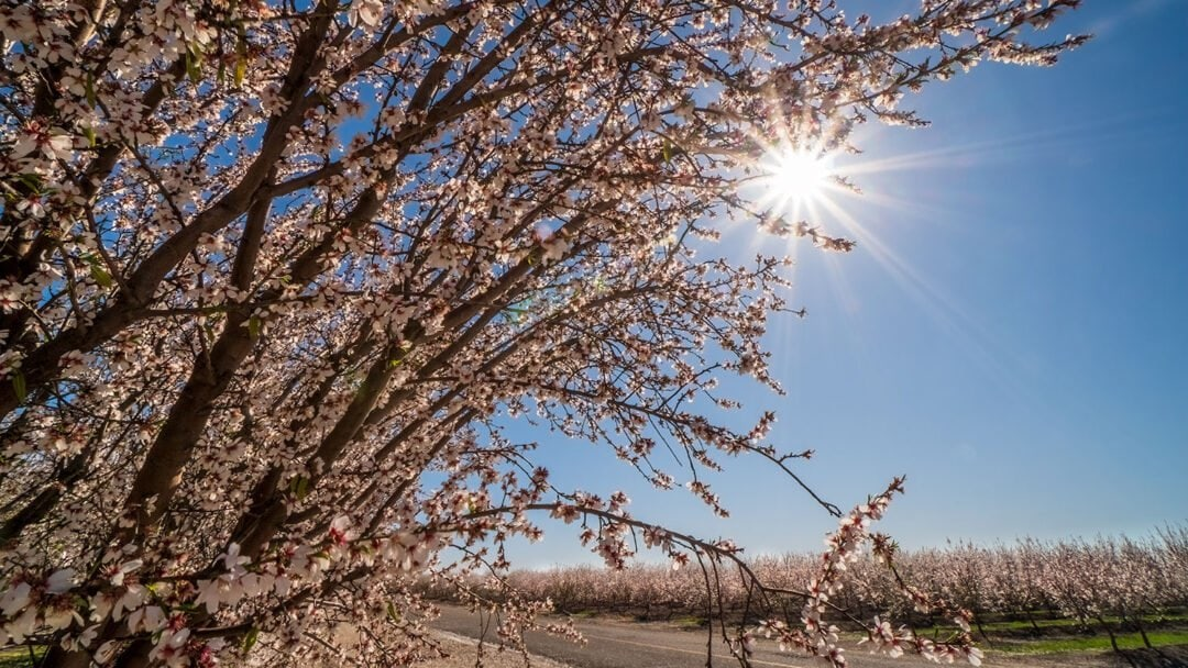 Almond Orchards In Full Bloom On Modesto's West Side Near Shoema