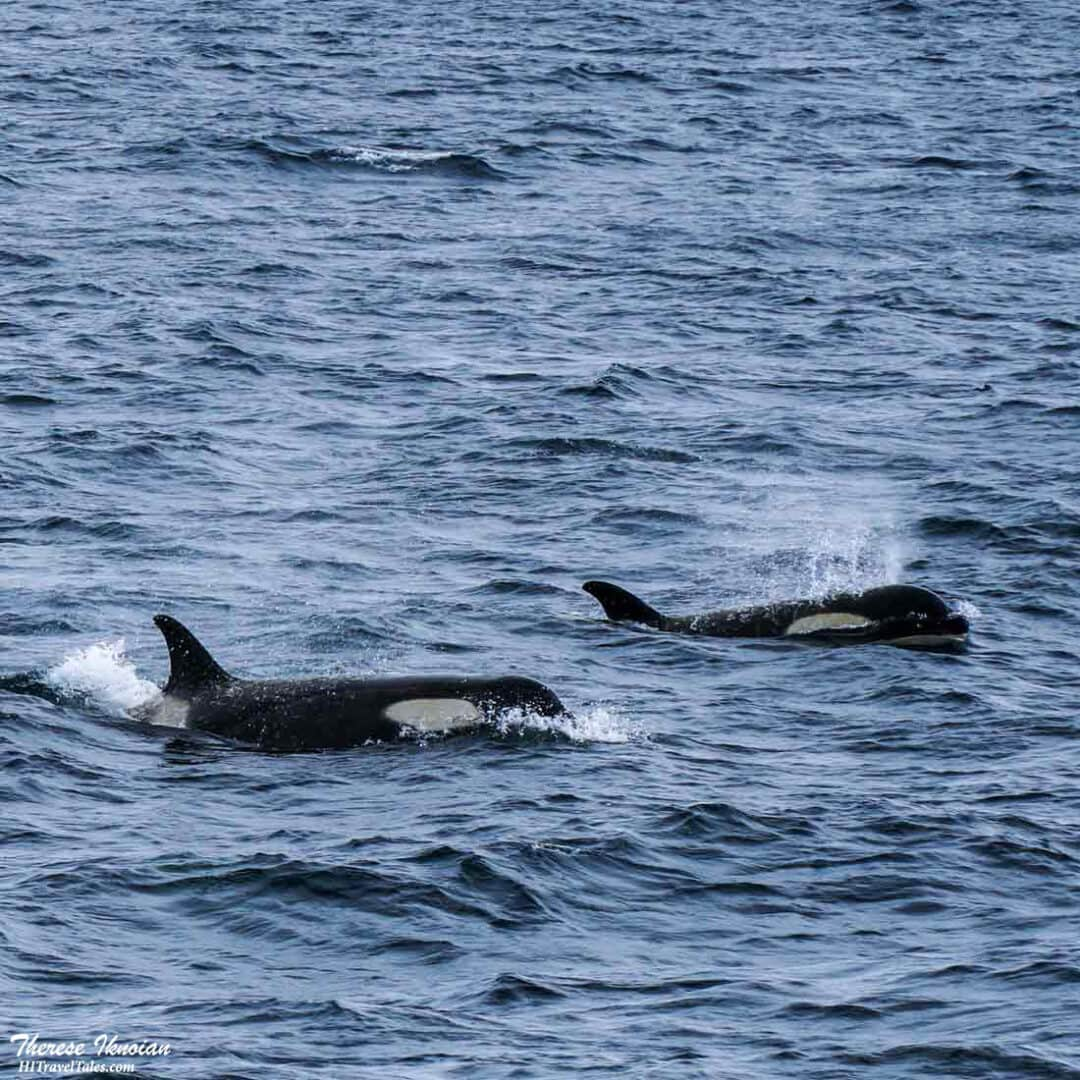 Orca Whales Antarctica