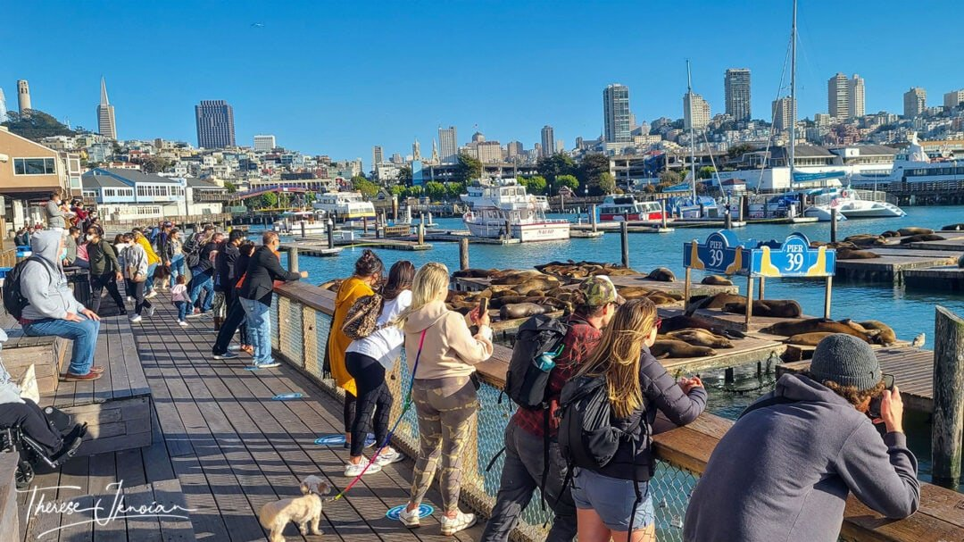 Pier 39 Attraction Sea Lions View