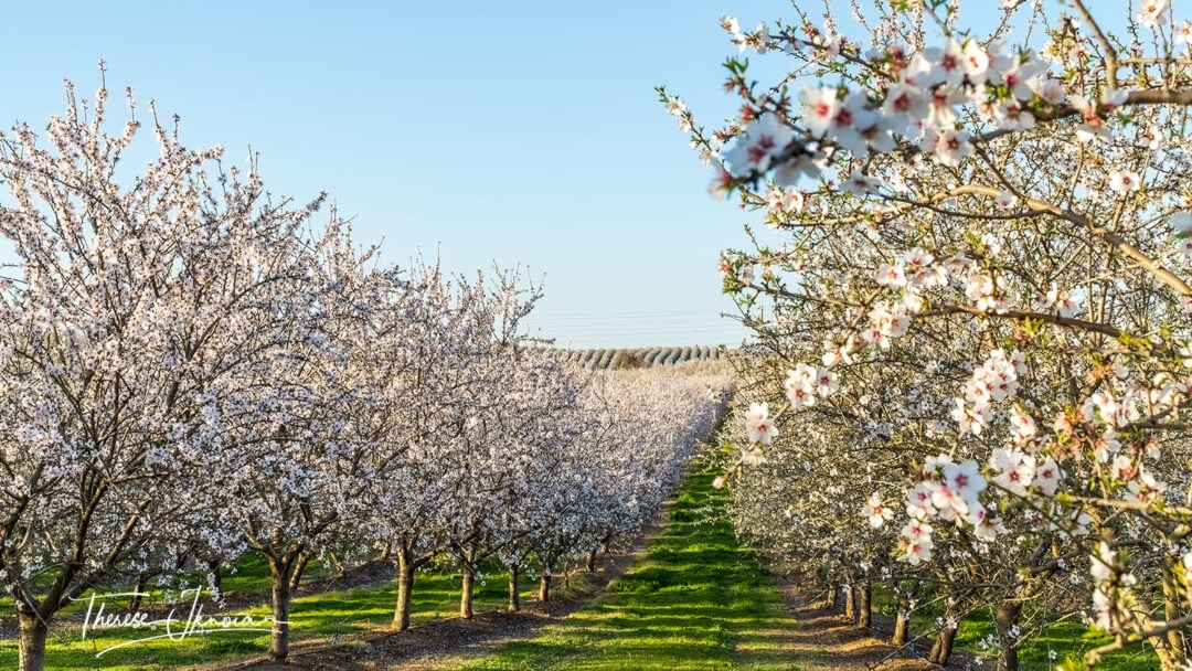 Roberts Ferry Almond Orchard Hills