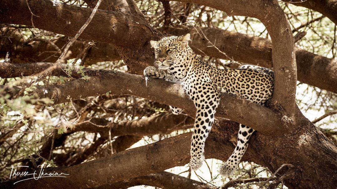 Samburu Leopard In Tree