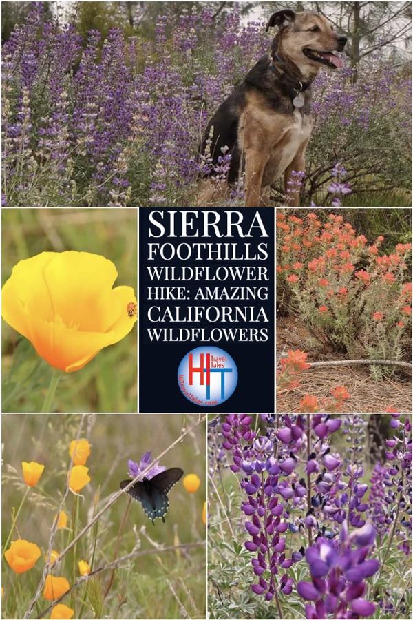 Sierra Foothills Wildflower Hike California Wildflowers