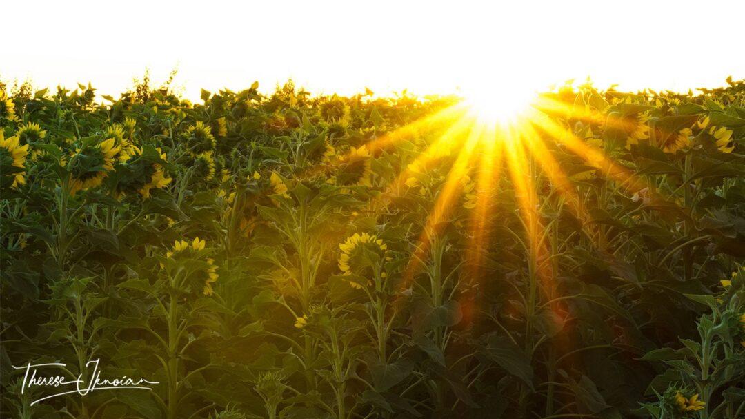Great Sunflower Photo Starburst