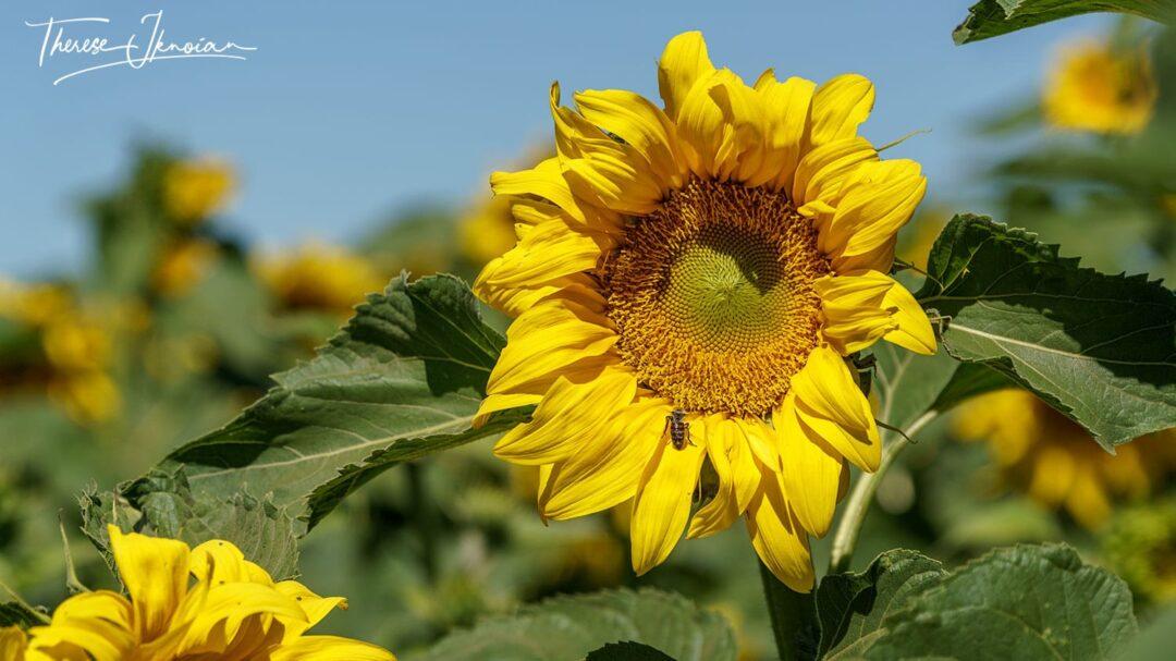 Sunflower Photo Yolo County With Bee