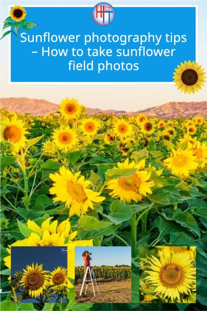 Sunflower Photography Tips How To Take Great Sunflower Photos