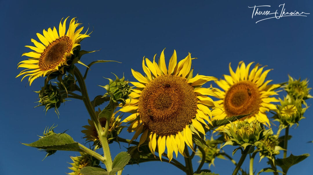 Sunflower Photography Tips Get Low