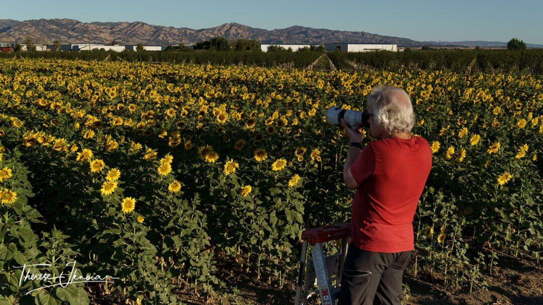 Taking Sunflower Photos On Ladder