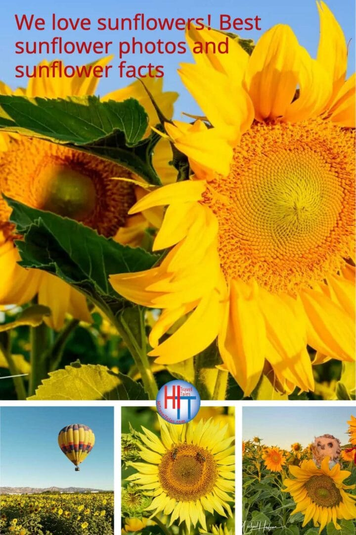 We Love Sunflowers Best Sunflower Photos And Sunflower Facts
