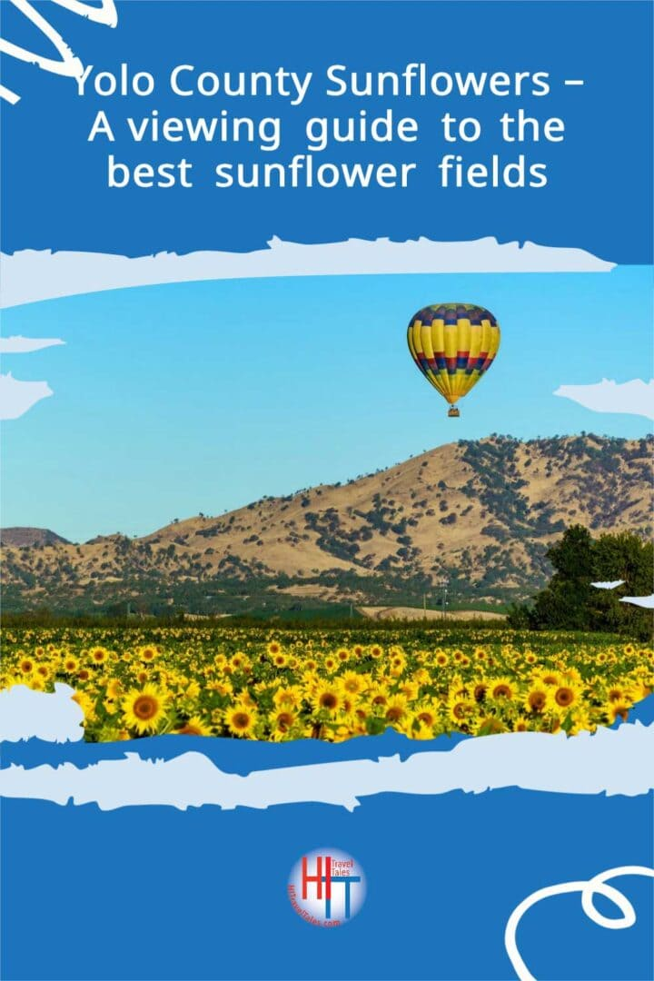Yolo County Sunflowers A Viewing Guide To The Best Sunflower Fields 4