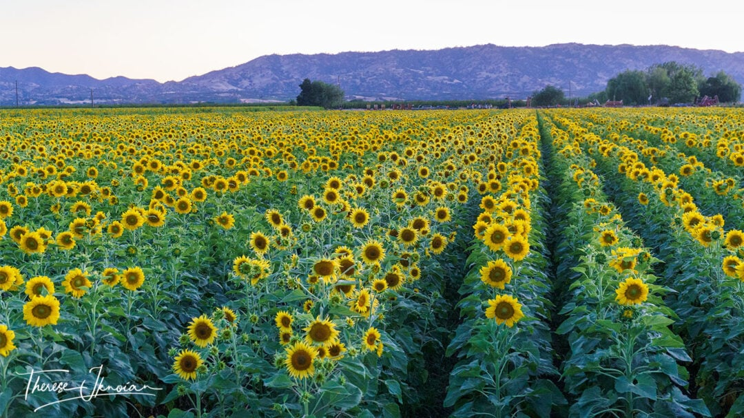 Yolo County Sunflowers At Blue Hour
