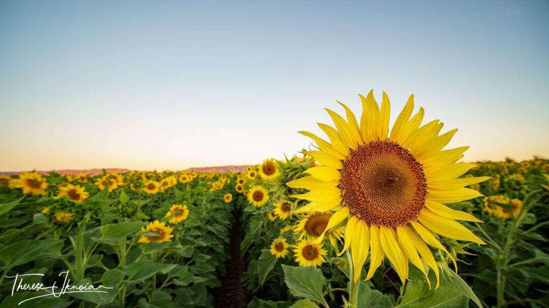 Yolo Sunflower Fields