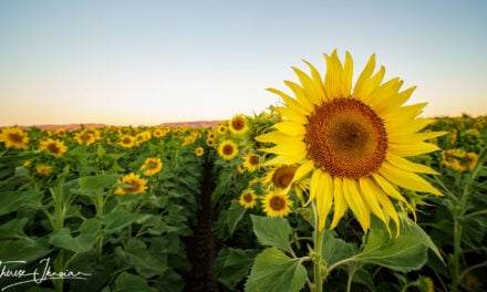 We love sunflowers! Best sunflower photos and sunflower facts