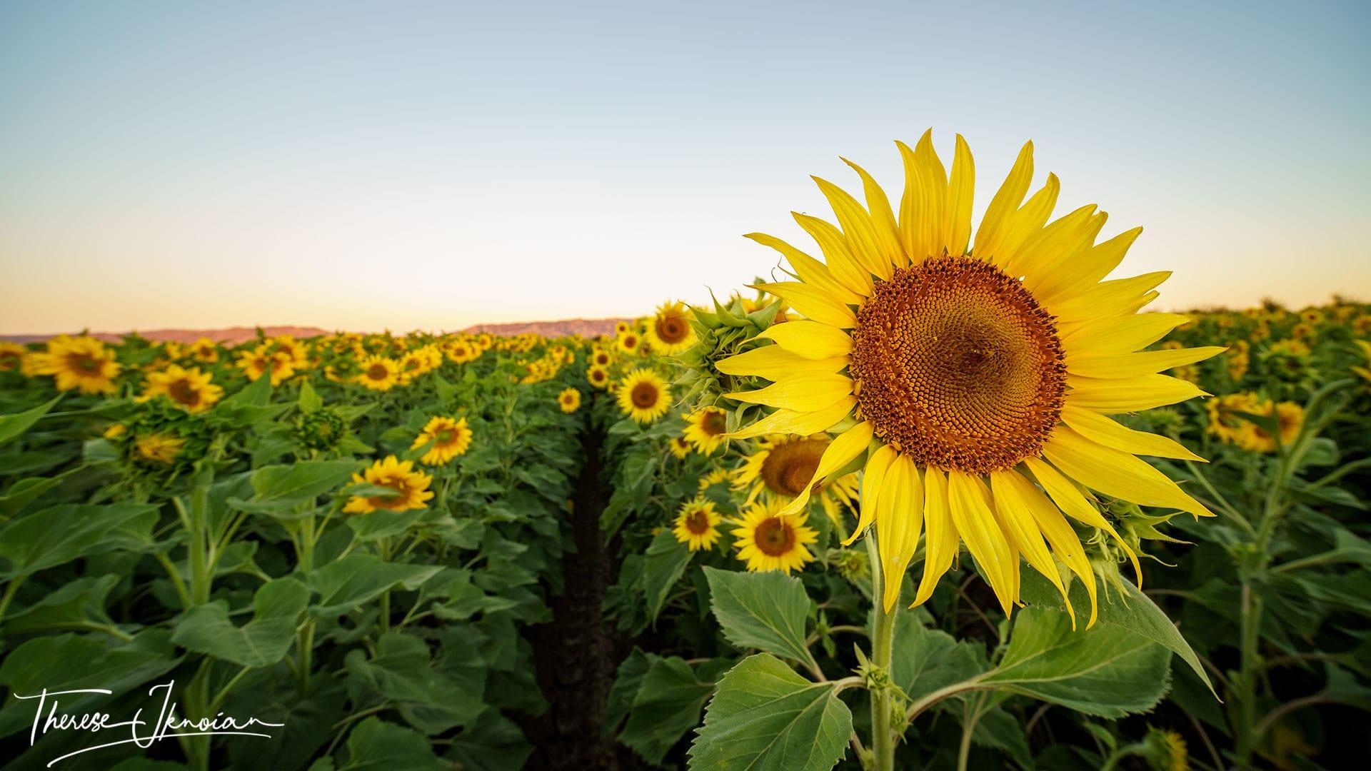 Yolo Sunflower Photo Gallery