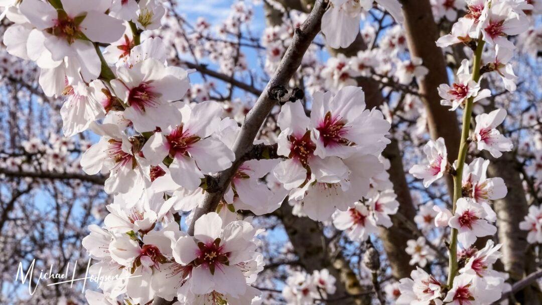 Almond Blossom Cruise Blossoms Closeup