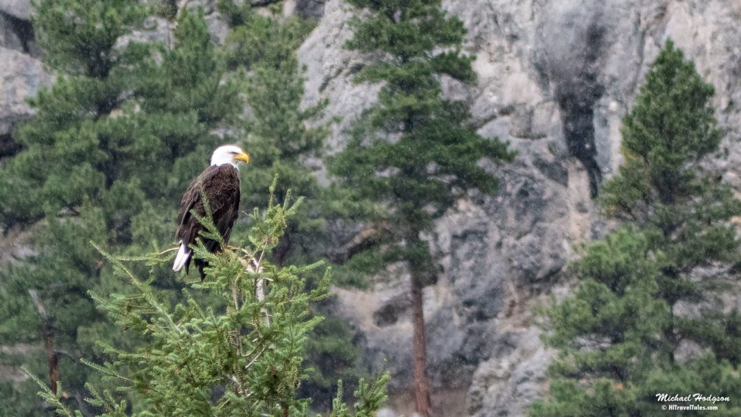 Bald Eagle In Gates Of The Mountains