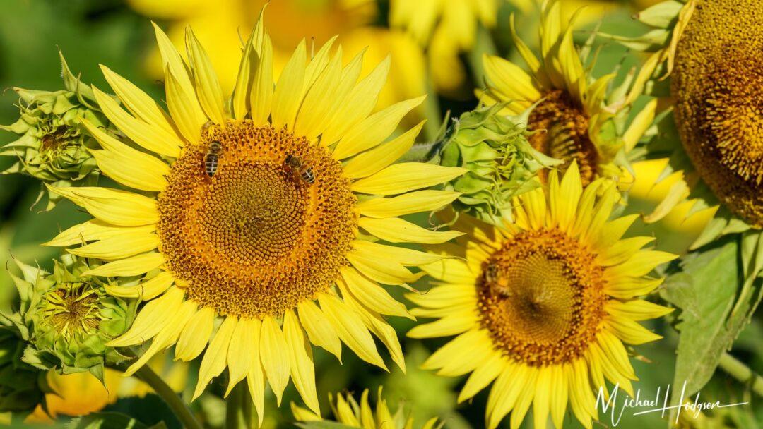 Best Sunflower Fields Closeup With Bees