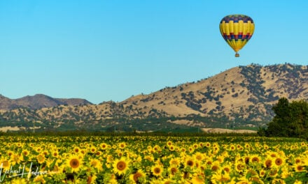 Yolo County Sunflowers – A viewing guide to the best sunflower fields