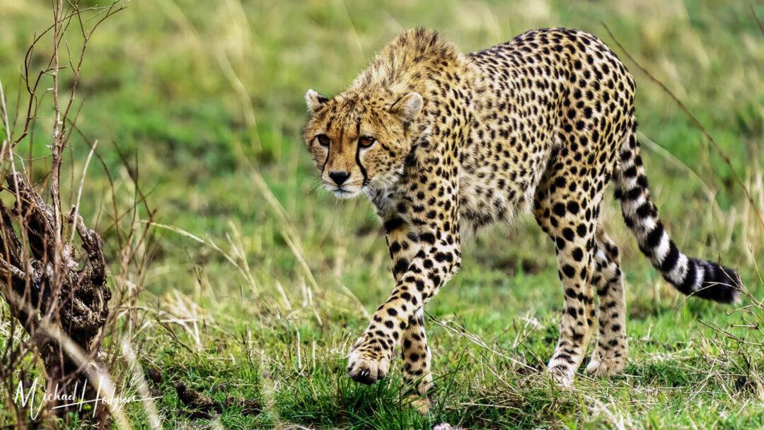 Cheetah Prowling Maasai Mara