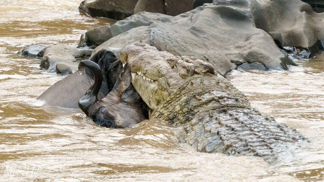 Crocodile Wildebeest Eye Maasai Mara