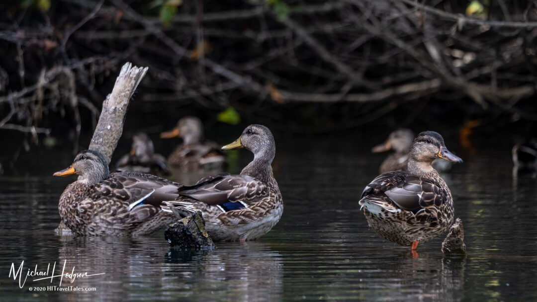 Ducks Hanging Out On The Noyo River In Mendocino