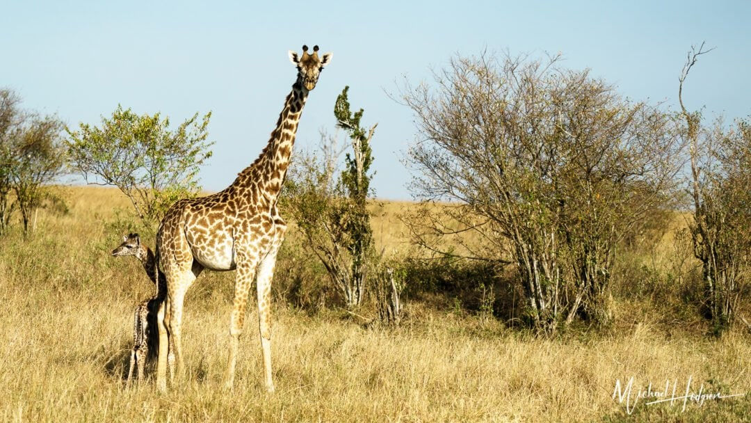 Giraffe Baby Momma Giraffe Maasai Mara