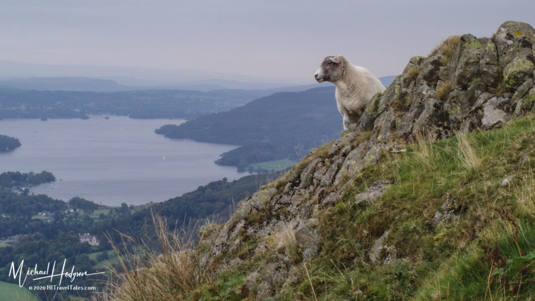 Sheep Above Lake Windermere On A Misty Day