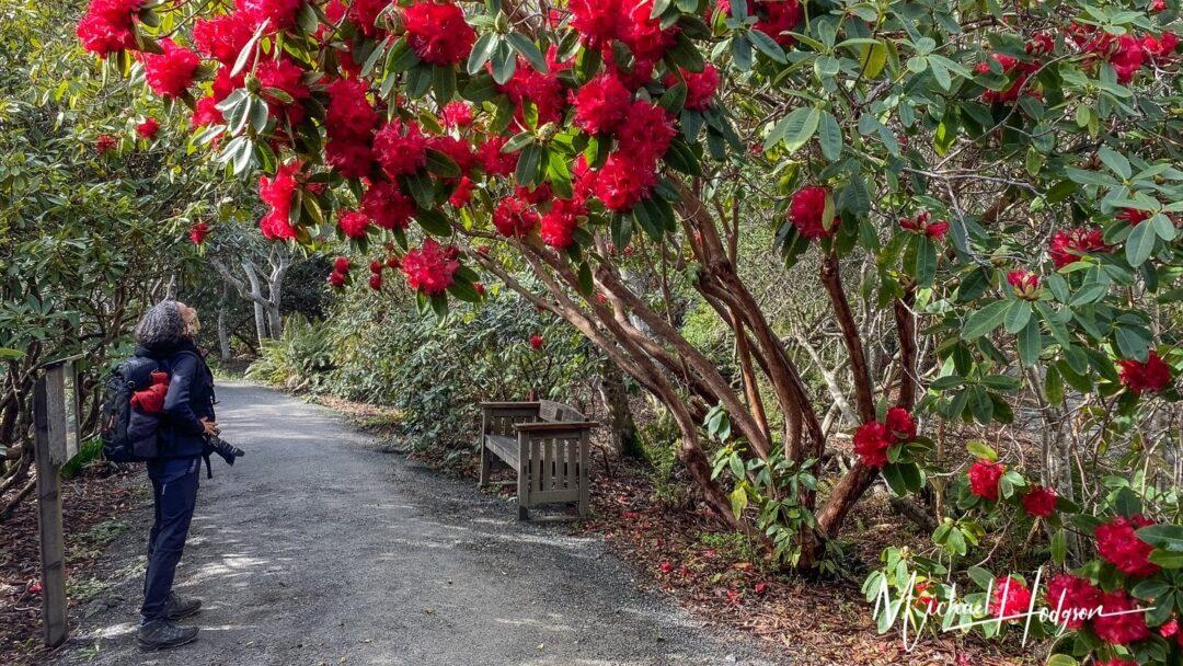 Mendocino Coast Botanical Gardens Hododendrons
