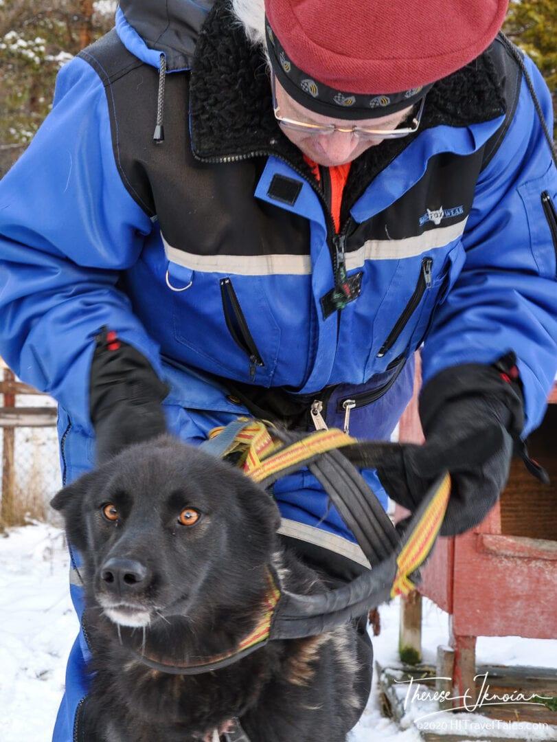 Michael Hodgson Putting A Harness On A Sled Dog.