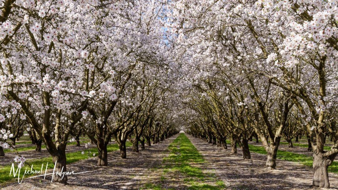 Modesto Almond Blossom Trail Blossom Tunnel