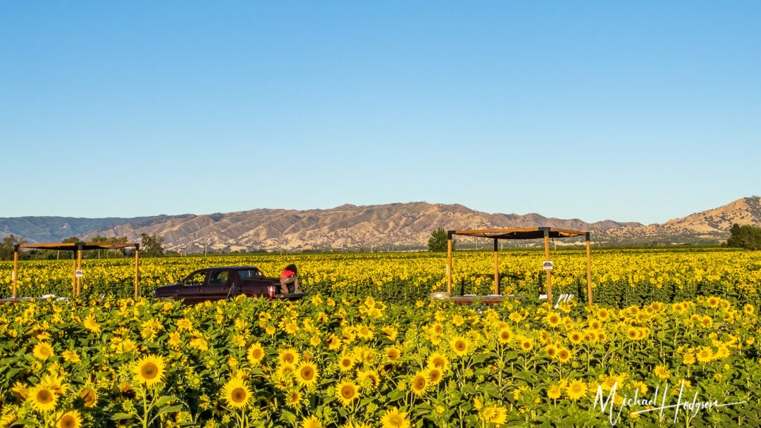 Photos In A Field Of Sunflowers Therese Iknoian
