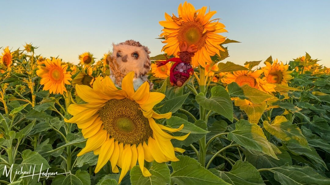 Turkovich Sunflower Fields Sunsise Dr Whoo Tiny Wilbur