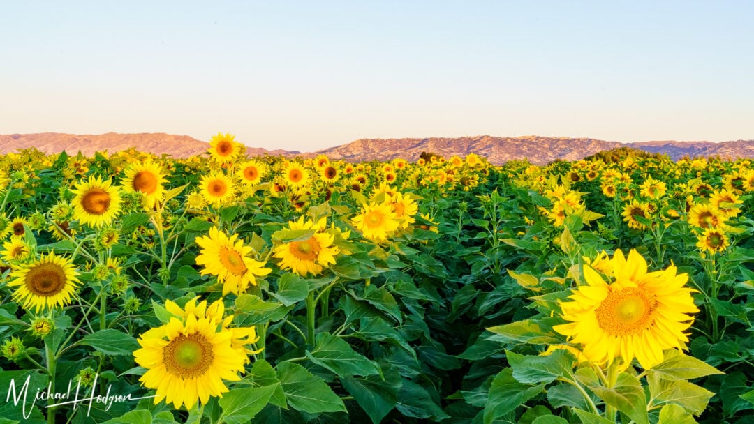 Turkovich Sunflower Fields Sunsise Mountains