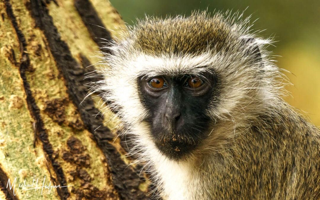Vervet Monkey Samburu Kenya