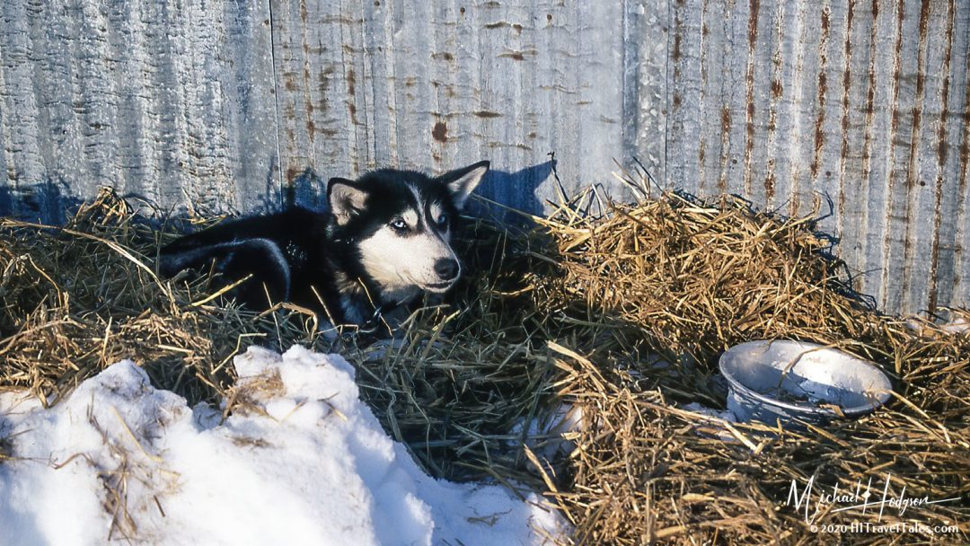 Iditarod Adventure Sled Dog Taking A Well Earned Rest At White M