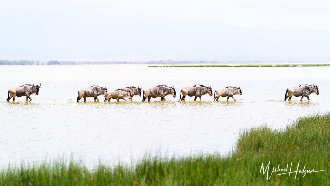 Wildebeest Line Amboseli