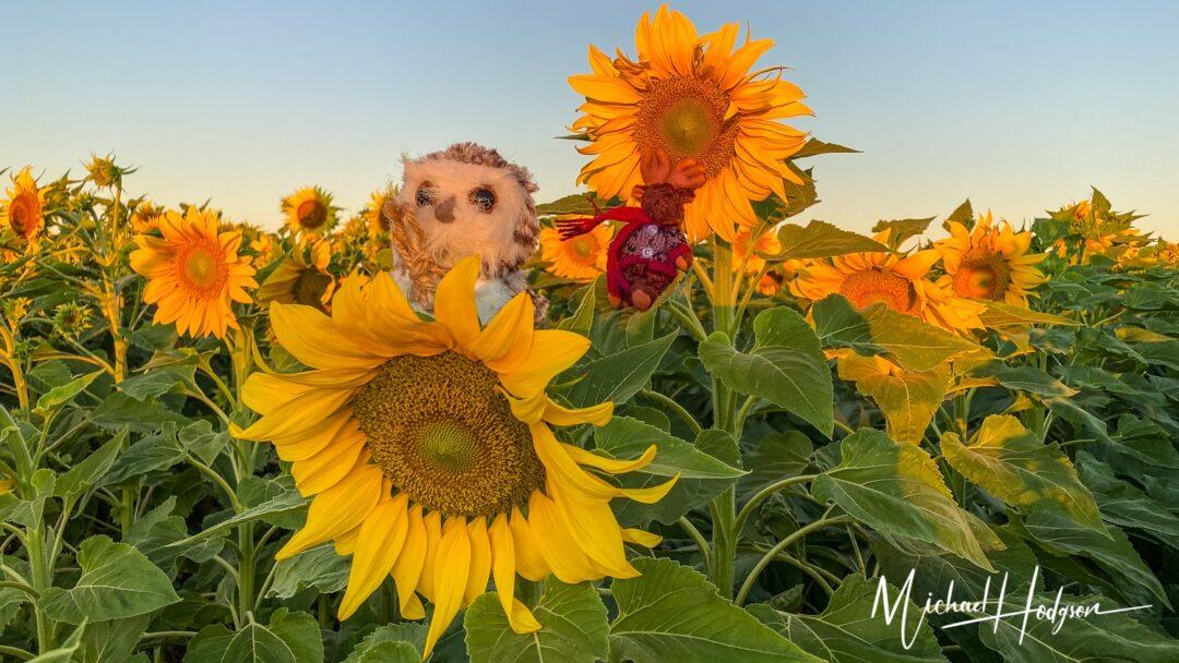 Yolo County Sunflowers Turkovich Sunflower Fields