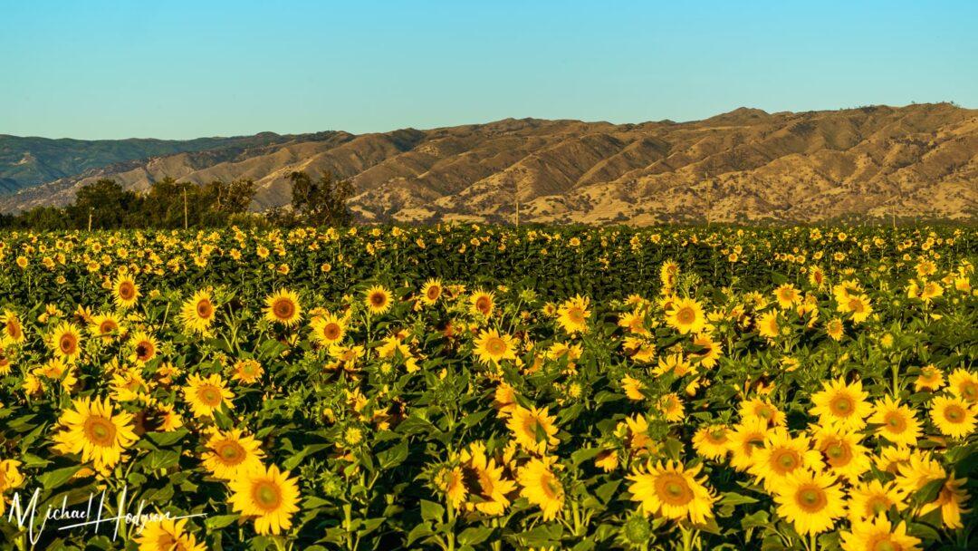 Yolo Sunflower Fields Golden Sunrise